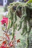 Ουρά Sedum υποζυγίων στοκ εικόνα με δικαίωμα ελεύθερης χρήσης