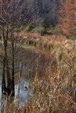 Ουρές γατών και ένα δέντρο hemlock στοκ φωτογραφίες