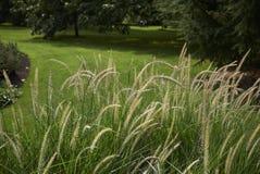 Ουρές νεράιδων Pennisetum Στοκ Φωτογραφίες