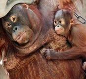 ουρακοτάγκος μητέρων utan στοκ εικόνες με δικαίωμα ελεύθερης χρήσης