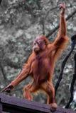 Ουρακοτάγκος χορού utan Στοκ Εικόνες