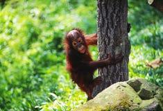 Ουρακοτάγκος utan, Sabah, Μαλαισία Στοκ φωτογραφία με δικαίωμα ελεύθερης χρήσης