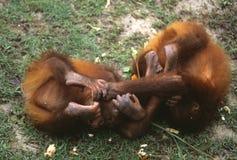 Ουρακοτάγκος utan, Sabah, Μαλαισία Στοκ Εικόνα