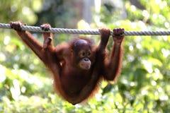 Ουρακοτάγκος utan, Sabah, Μαλαισία Στοκ Φωτογραφίες