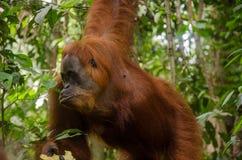 Ουρακοτάγκος Utan Sumatran Στοκ Εικόνες