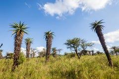 Ουρανός εκτάσεων χλόης δέντρων αλόης αγριοτήτων στοκ εικόνες