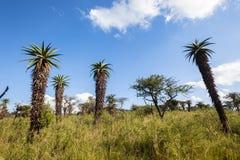Ουρανός εκτάσεων χλόης δέντρων αλόης αγριοτήτων στοκ εικόνα