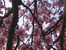 Ουρανός μέσω της άνθισης Magnolia Στοκ Εικόνες