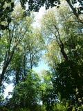 Ουρανός μέσω των δέντρων Στοκ Εικόνες