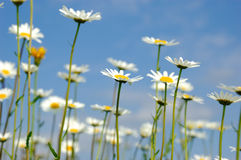 ουρανός μαργαριτών ανασκόπησης flowerson Στοκ Φωτογραφία