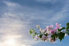 Ουρανός Bougainvillea Στοκ Εικόνες