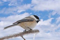 ουρανός chickadee Στοκ φωτογραφία με δικαίωμα ελεύθερης χρήσης