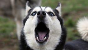 ουρλιάζοντας γεροδεμέ& Στοκ Φωτογραφία
