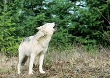 ουρλιάζοντας λύκος Στοκ Φωτογραφίες