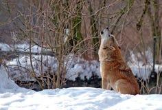 ουρλιάζοντας λύκος Στοκ Φωτογραφία