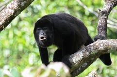 ουρλιάζοντας πίθηκος μαργαριταριού Στοκ φωτογραφίες με δικαίωμα ελεύθερης χρήσης