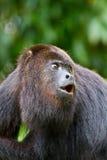 ουρλιάζοντας πίθηκος τη Στοκ Φωτογραφίες