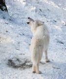 Ουρλιάζοντας αρκτικός λύκος Στοκ Εικόνες