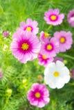 λουλούδια, άσπρα και ρόδινα λουλούδια κόσμου στο πάρκο, ζωηρόχρωμο flo Στοκ εικόνα με δικαίωμα ελεύθερης χρήσης