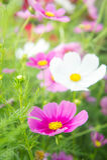 λουλούδια, άσπρα και ρόδινα λουλούδια κόσμου στο πάρκο, ζωηρόχρωμο flo Στοκ Εικόνες