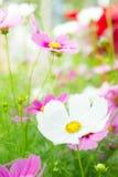 λουλούδια, άσπρα και ρόδινα λουλούδια κόσμου στο πάρκο, ζωηρόχρωμο flo Στοκ Φωτογραφίες