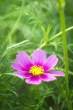 λουλούδια, άσπρα και ρόδινα λουλούδια κόσμου στο πάρκο, ζωηρόχρωμο flo Στοκ Φωτογραφία