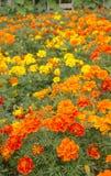 λουλούδια γαλλικά Στοκ Εικόνες