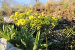 2 λουλούδια κίτρινα Στοκ Εικόνες