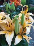 λουλούδια καρτών ανασκόπησης που χαιρετούν τον καθολικό Ιστό προτύπων σελίδων κρίνων Στοκ Φωτογραφίες