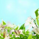 λουλούδια καρτών ανασκόπησης που χαιρετούν τον καθολικό Ιστό προτύπων σελίδων κρίνων Στοκ Εικόνα