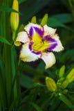 λουλούδια καρτών ανασκόπησης που χαιρετούν τον καθολικό Ιστό προτύπων σελίδων κρίνων κρίνοι Άνοιξη λουλουδιών Στοκ Εικόνες