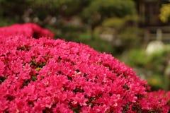 λουλούδια ροδοειδή Στοκ εικόνες με δικαίωμα ελεύθερης χρήσης
