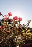 λουλούδια της Φλωρεντί&a Στοκ εικόνα με δικαίωμα ελεύθερης χρήσης