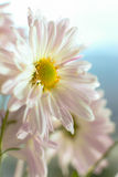 2 λουλούδια φθινοπώρου στοκ φωτογραφίες με δικαίωμα ελεύθερης χρήσης