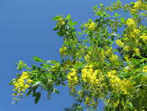 λουλούδια angioplasty bobovnik της χρυσής βροχής Στοκ Εικόνα