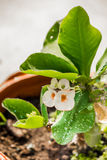 λουλούδια POI Σηάν Στοκ Εικόνες
