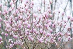 λουλούδια yulan Στοκ Εικόνα