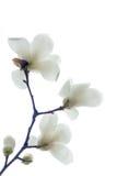 λουλούδια yulan Στοκ εικόνες με δικαίωμα ελεύθερης χρήσης