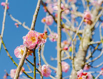 λουλούδι ยplum Στοκ Φωτογραφίες