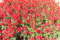 λουλούδι ανασκόπησης φ&ups Καταπληκτική άποψη φύσης των κόκκινων λουλουδιών Στοκ Φωτογραφίες