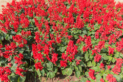 λουλούδι ανασκόπησης φ&ups Καταπληκτική άποψη φύσης των κόκκινων λουλουδιών Στοκ εικόνα με δικαίωμα ελεύθερης χρήσης