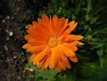 λουλούδι από τον κήπο Στοκ Εικόνα