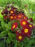 λουλούδι αρκετά κόκκιν&omi Στοκ Φωτογραφίες
