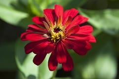 λουλούδι αρκετά κόκκιν&omi Στοκ Εικόνα