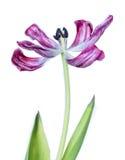 λουλούδι θανάτου Στοκ Εικόνες