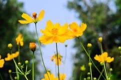 λουλούδι κόσμου κίτριν&omicr Στοκ Εικόνα