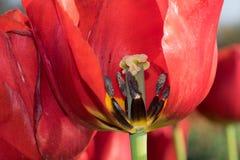 λουλούδι μέσα στην κόκκινη τουλίπα Στοκ Φωτογραφίες