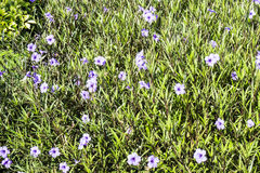 λουλούδι πεδίων Στοκ Φωτογραφία