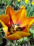 λουλούδι πορτοκαλί Στοκ Φωτογραφία