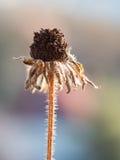 λουλούδι που μαραίνετα Στοκ Εικόνες